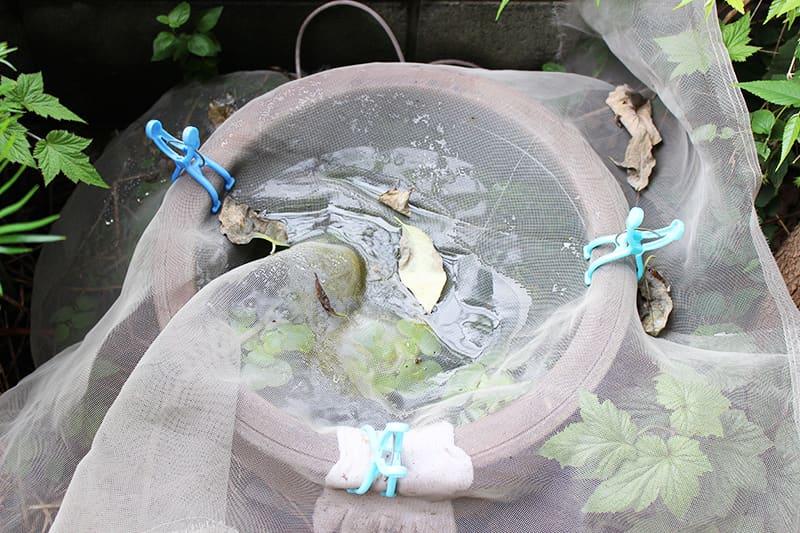網に落ち葉が溜まった状態の屋外メダカ水槽