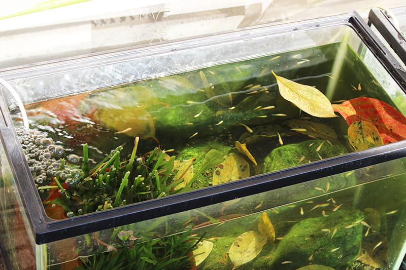 落ち葉を入れた屋外メダカ水槽
