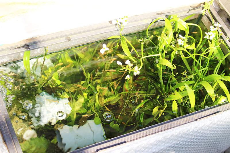 落ち葉を入れていない屋外メダカ水槽。こちらの水槽ではアオミドロは発生していませんでした。