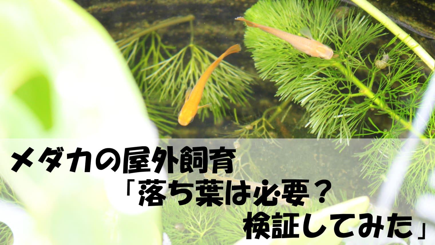 メダカの屋外飼育「落ち葉は必要か?」