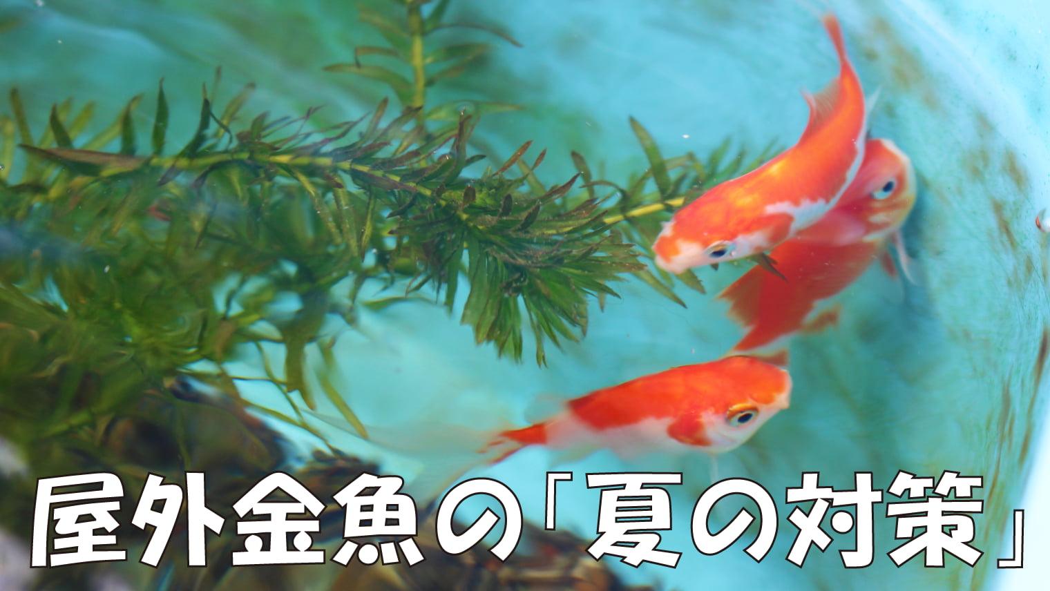 屋外金魚のメンテナンス(秋~冬編)
