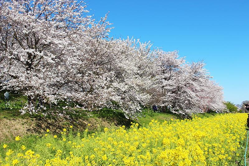 権現堂公園 菜の花と桜