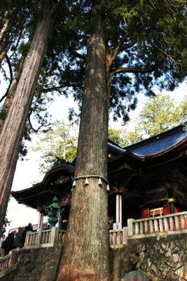 三峯神社拝殿前にある御神木