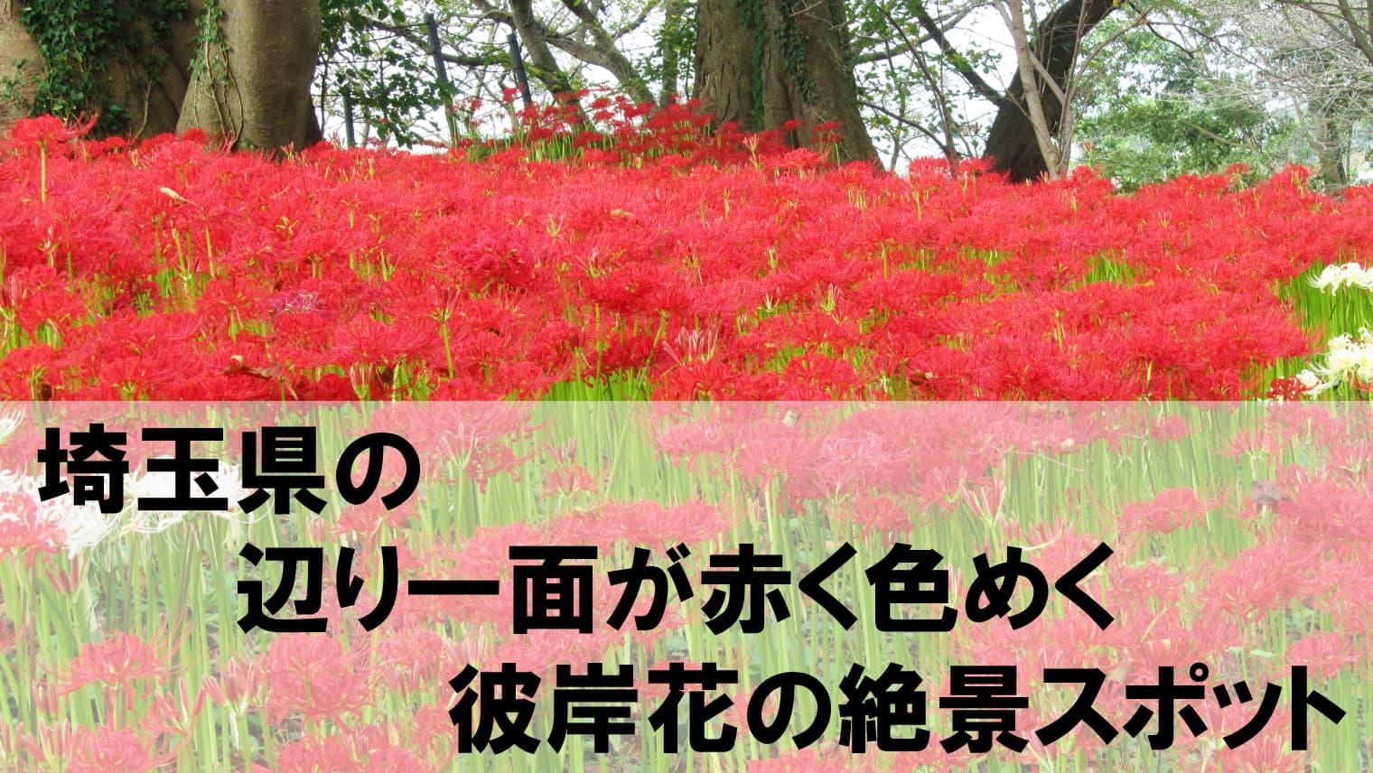 9月の絶景!埼玉で日本最大級の彼岸花の名所2か所を紹介!