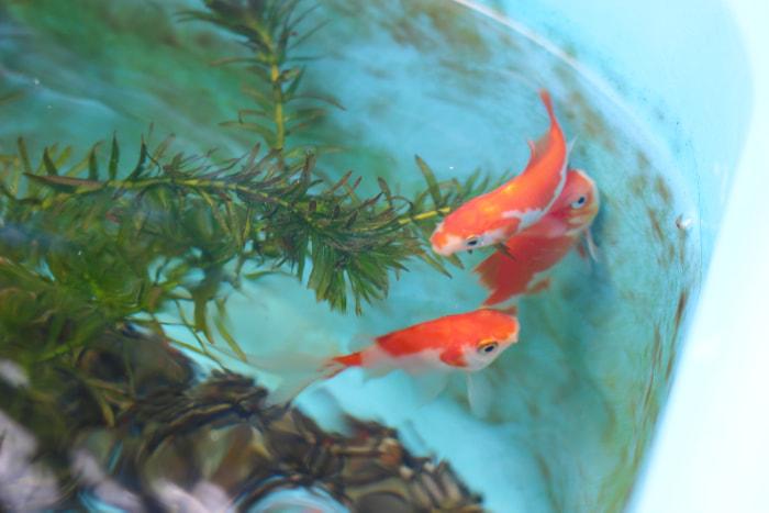 金魚の画像700px