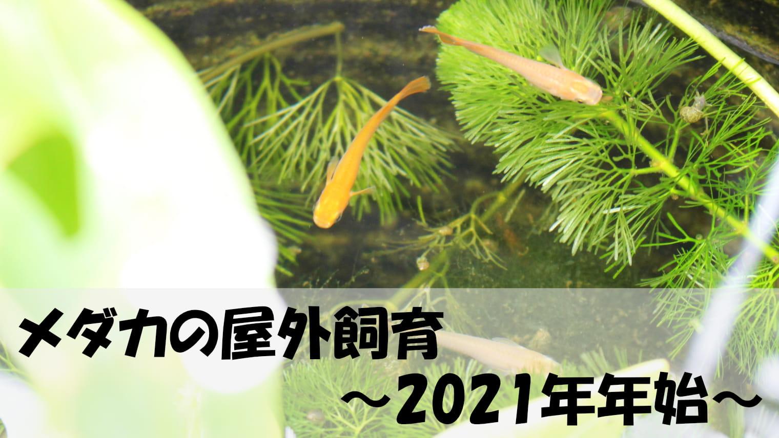 メダカの屋外飼育「2021年年始」