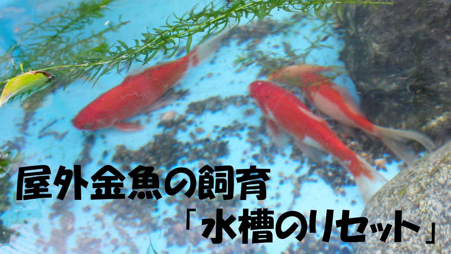 屋外金魚の飼育「水槽のリセット」